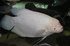 Dit is albino gouramy in ons aquarium - 10 y O 70cm Royalty-vrije Stock Foto's
