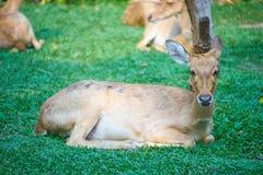 Dit beeld is over Thaise antilope, Bangkok Thailand Stock Afbeeldingen