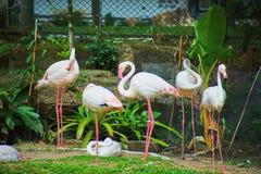 Dit beeld is over Thaise Flamingo, Bangkok Thailand Royalty-vrije Stock Fotografie
