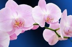 Roze orchideeachtergrond Stock Foto's