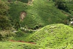 De aanplanting van de thee in het hoogland van Cameron Stock Afbeelding