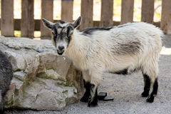 Een geit bij de dierentuin. Royalty-vrije Stock Fotografie