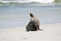Dit is een mannelijke zeeleeuw royalty-vrije stock fotografie
