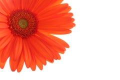 Oranje gerbermadeliefje op wit Stock Afbeelding