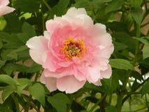 Dit is een pioenbloem en ook de nationale bloem van China royalty-vrije stock afbeeldingen