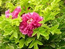 Dit is een pioenbloem en ook de nationale bloem van China stock foto's