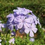 Dit is een purpere bloem van mijn tuin royalty-vrije stock foto