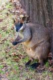 De Wallaby van het moeras, Australië Royalty-vrije Stock Foto's