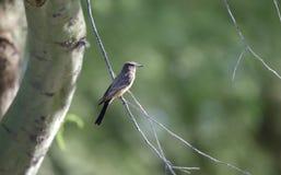 Dit l'oiseau de Phoebe, désert de Tucson Arizona photographie stock