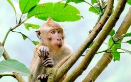 Dit is macaques Met lange staart Stock Fotografie
