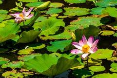 Dit mooi waterlily of lotusbloembloem wordt gecomplimenteerd stock foto's