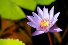 Dit mooi waterlily of purpere lotusbloembloem wordt gecomplimenteerd door de drakkleuren van de diepe blauwe waterspiegel verzadi Royalty-vrije Stock Fotografie