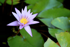 Dit mooi waterlily of purpere lotusbloembloem wordt gecomplimenteerd door de drakkleuren van de diepe blauwe waterspiegel verzadi Stock Foto's