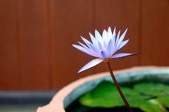 Dit mooi waterlily of purpere lotusbloembloem wordt gecomplimenteerd door de drakkleuren van de diepe blauwe waterspiegel verzadi Royalty-vrije Stock Afbeeldingen