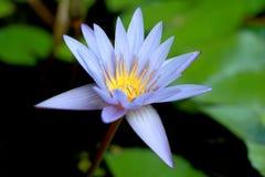 Dit mooi waterlily of purpere lotusbloembloem wordt gecomplimenteerd door de drakkleuren van de diepe blauwe waterspiegel verzadi Stock Afbeeldingen