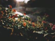Dit is oranje bloem op de zonsopgang lichte, zachte toon, selectieve nadruk stock afbeelding