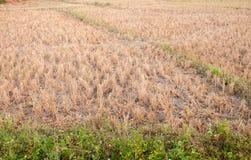 Dit rijststoppelveld voor dierenvoer Royalty-vrije Stock Foto