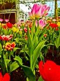 Dit zijn tulp die in temperatuurcontrole houden royalty-vrije stock foto's
