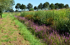 Ditch with flowering Lythrum salicaria. Stock Image