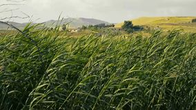 Ditch grass moved by the wind. In Sicily stock footage