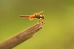 Ditch Jewel (thai dragonfly) stock photography