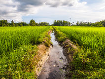 Ditch of rice. Ditch is between rice fields Royalty Free Stock Images