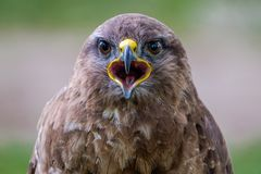 Dites le fromage Portrait de Buzzard commun photographie stock