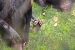 Dito del piede della scimmia del bambino con la madre in zoo immagine stock