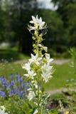 Dittany (albus del Dictamnus) Fotografia Stock Libera da Diritti