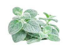 Dittany Cretan herb Dictamus isolated on white backround. Origanum dictamnus. Celtic oreganoPlace for text Royalty Free Stock Images