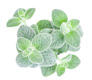 Dittany Cretan herb Dictamus isolated on white backround. Origanum dictamnus. Celtic oreganoPlace for text Stock Photography