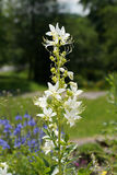 Dittany (Dictamnus albus) Lizenzfreies Stockfoto