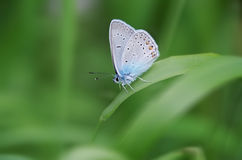 Diurnal butterfly in natural habitat. Stock Photos