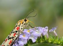 Diurnal moth sucking nectar Stock Photos