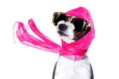 Diva chic dog Royalty Free Stock Photos