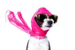Diva chic dog Stock Photos