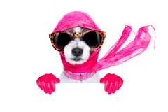Diva chic dog. Chic fashionable diva luxury  cool dog with funny sunglasses, scarf and necklace, isolated on white background, behind  banner or placard Royalty Free Stock Photo