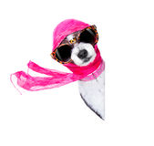 Diva chic dog Stock Photography