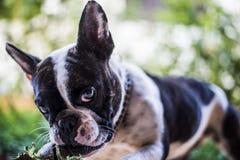 Diva den franska bulldoggen Royaltyfri Foto