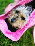 Diva Dog. A spoiled yorshire terrier in a pink dog purse or carrier stock images