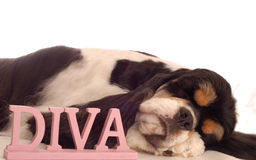 Diva dog. American cocker spaniel sleeping with diva sign - champion bloodlines Stock Photo