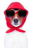 Diva dog. With red sunglasses cool looking Stock Images