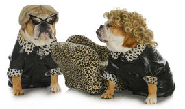 Diva dogs Stock Photo