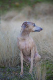 Diva on fall grass no 5. Royalty Free Stock Images