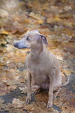 Diva on fall leaves. Photo of small italian greyhound on yellow and brown fall leaves Stock Photos