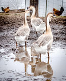 Diva geese of the barnyard Stock Photo