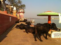 Divagazione santa delle mucche del fiume Gange in India Immagine Stock