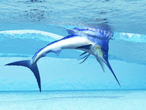 Dive. A Marlin dives in shallow waves looking for fish to eat Stock Photos