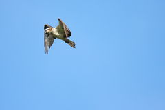The dive. An Osprey hovers over it's prey - ready to dive Stock Photography