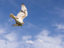 Dive. Hawk going into a dive with blue sky,clouds and moon in the background royalty free stock image